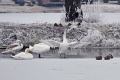 V okrese Komárno zaznamenali za jeden deň 70 uhynutých labutí