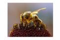 Včely ohrozujú najmä pesticídy, ich produkty môžu byť luxusom